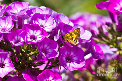Photograph - Skipper Butterfly On Flower by Ms Judi