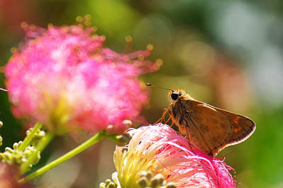 Photograph - Skipper Butterfly On Mimosa Flower by Jason Politte