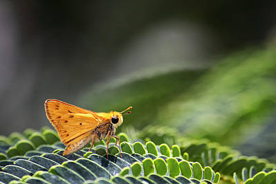 Photograph - Skipper Butterfly On Mimosa Leaf by Jason Politte