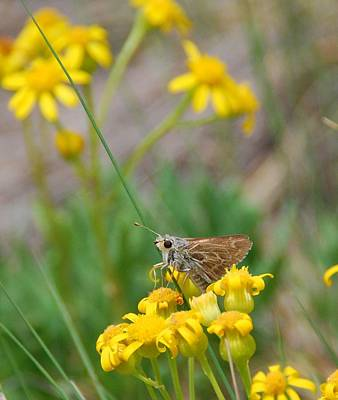 Photograph - Skipper Butterfly On Yellow Wildflowers by Cascade Colors