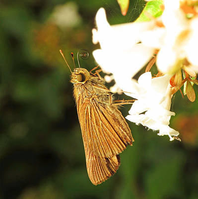 Photograph - Skipper Butterfly Two by Walter Klockers