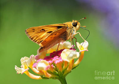 Photograph - Skipper On Lantana by Kathy Baccari