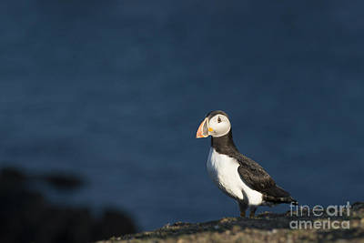 Photograph - Skokholm Puffin by Anne Gilbert