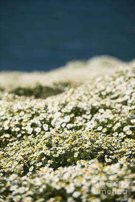 Photograph - Skokholm Sea Mayweed by Anne Gilbert