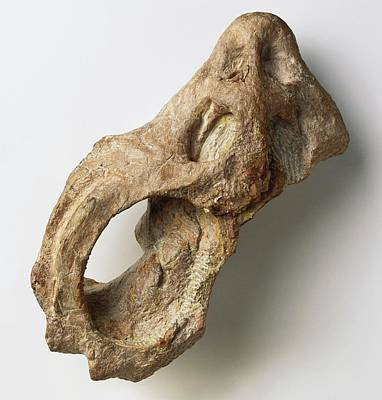Triassic Photograph - Skull From Cyamodus by Dorling Kindersley/uig