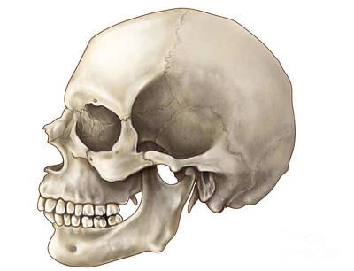 Skull Lateral View Art Print