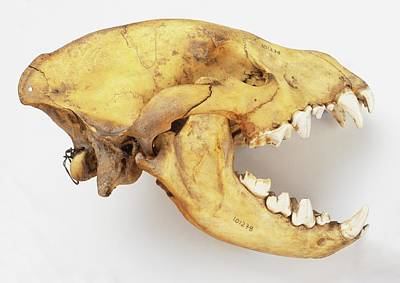 Single Object Photograph - Skull Of A Hyena by Dorling Kindersley/uig