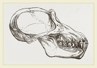 Chimpanzee Drawing - Skull Of Chimpanzee by Litz Collection