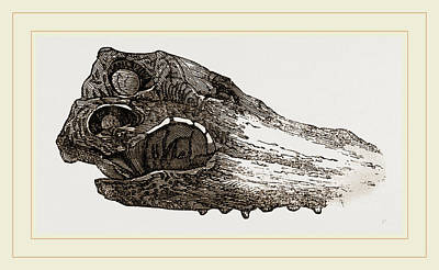 Crocodile Drawing - Skull Of Crocodile Fossil by Litz Collection