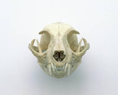 Skull Of Domestic Cat Art Print