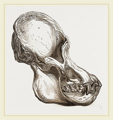 Biological Drawing - Skull Of Orang-outan by Litz Collection