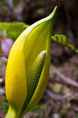 Swamp Cabbage Photograph - Skunk Cabbage In Spring - Willowbrae Trail by James Wheeler