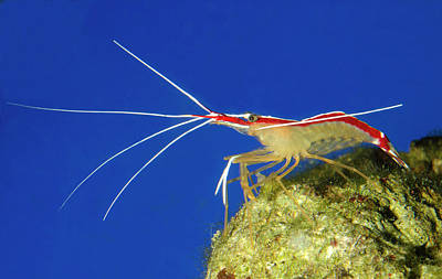 Skunk Cleaner Shrimp Art Print by Nigel Downer