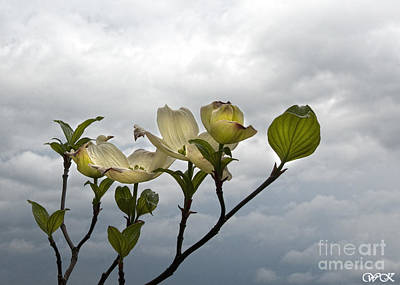 Photograph - Sky And Dogwood by Wanda Krack