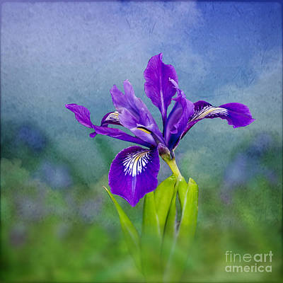 Photograph - Sky Iris by Shirley Mangini