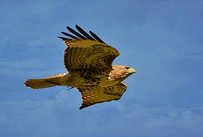 Red Tail Hawk Photograph - Sky King by Fraida Gutovich