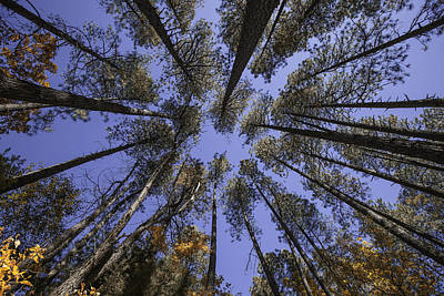 Photograph - Sky Through The Pines by Michael Yeager