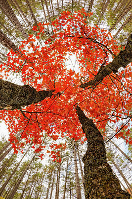 Forest Floor Photograph - Skyward View Of Maple Tree In Pine by Adam Jones