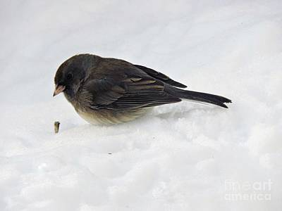 Photograph - Slate-colored Junco by Marcia Lee Jones