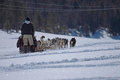 Art Print featuring the photograph Sled Dog  by Duncan Selby