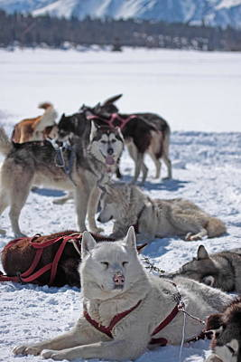 Art Print featuring the photograph Sled Dogs by Duncan Selby