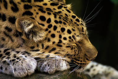 Photograph - Sleeping Amur Leopard by Fiona Messenger