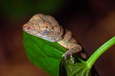 Photograph - Sleeping Anole by Larah McElroy