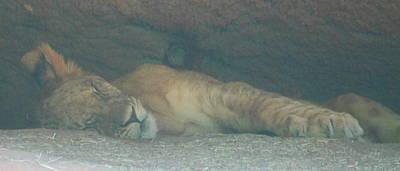 Predator Photograph - Sleeping Baby Lion by Cathy Lindsey