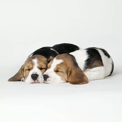 Sleeping Beagle Puppies Art Print