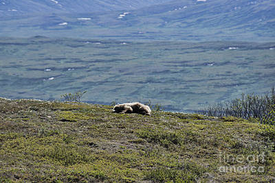 Photograph - Sleeping Bear Two by David Arment