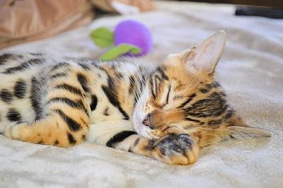 Photograph - Sleeping Bengal by Jane Girardot