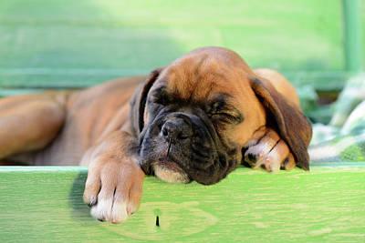 Sleeping Boxer Dog Puppy Art Print