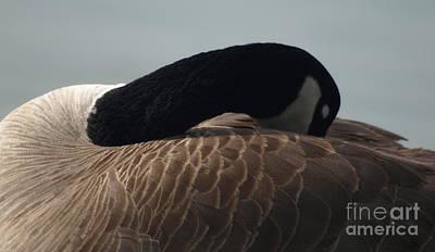 Sleeping Canada Goose Art Print