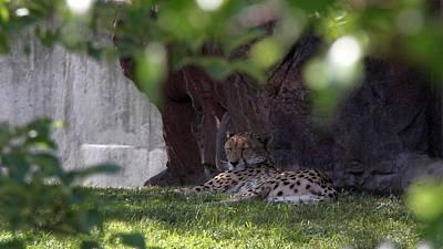 Photograph - Sleeping Cheetah by Davandra Cribbie