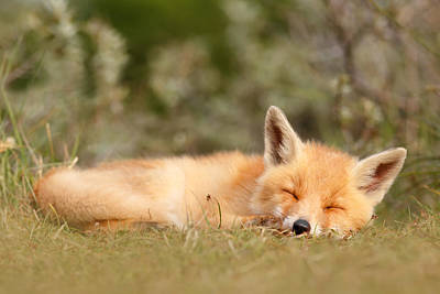 Juvenile Photograph - Sleeping Cuty _ Red Fox Kit by Roeselien Raimond
