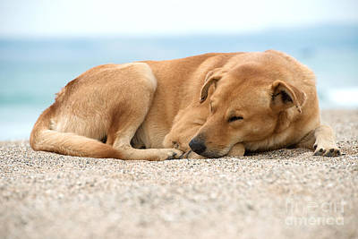 Photograph - Sleeping Dog by Yew Kwang