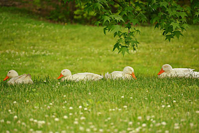 Photograph - Sleeping Ducks by Amber Summerow