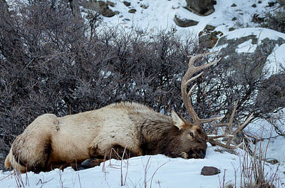 Sleeping Elk Art Print
