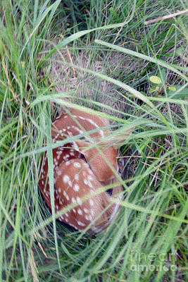 White-tailed Buck Mixed Media - Sleeping Fawn 2 by Jon Neidert