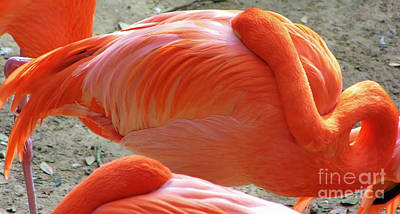 Photograph - Sleeping Flamingo by D Hackett