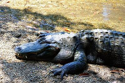 Photograph - Sleeping Gator by Richard Zentner