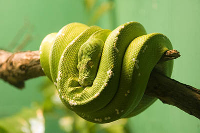 Reptiles Royalty-Free and Rights-Managed Images - Sleeping Green Snake by Alex Snay