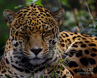 Sleeping Jaguar Art Print