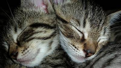 Photograph - Sleeping Kittens by Scott Decker