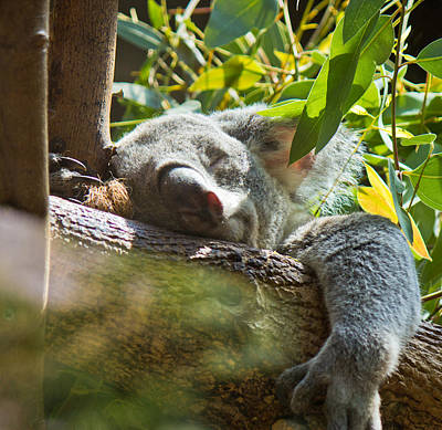 Photograph - Sleeping Koala by Jonny D