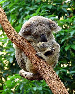 Photograph - Sleeping Koala by Ramona Johnston