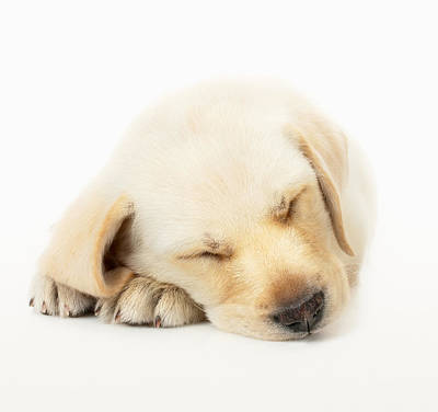Loving Photograph - Sleeping Labrador Puppy by Johan Swanepoel