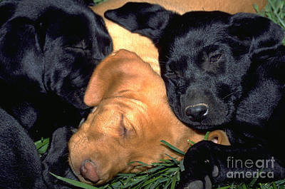 Sleeping Labrador Retriever Puppies 8 Art Print by William H. Mullins