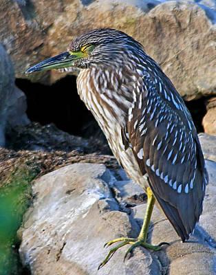 Photograph - Sleeping Night Heron by Ira Runyan