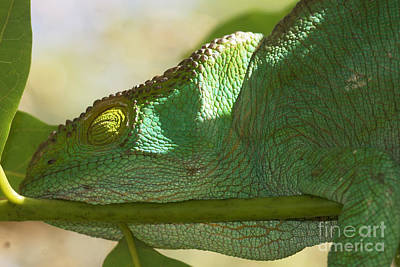 Photograph - sleeping Parsons chameleon from Madagascar 13 by Rudi Prott